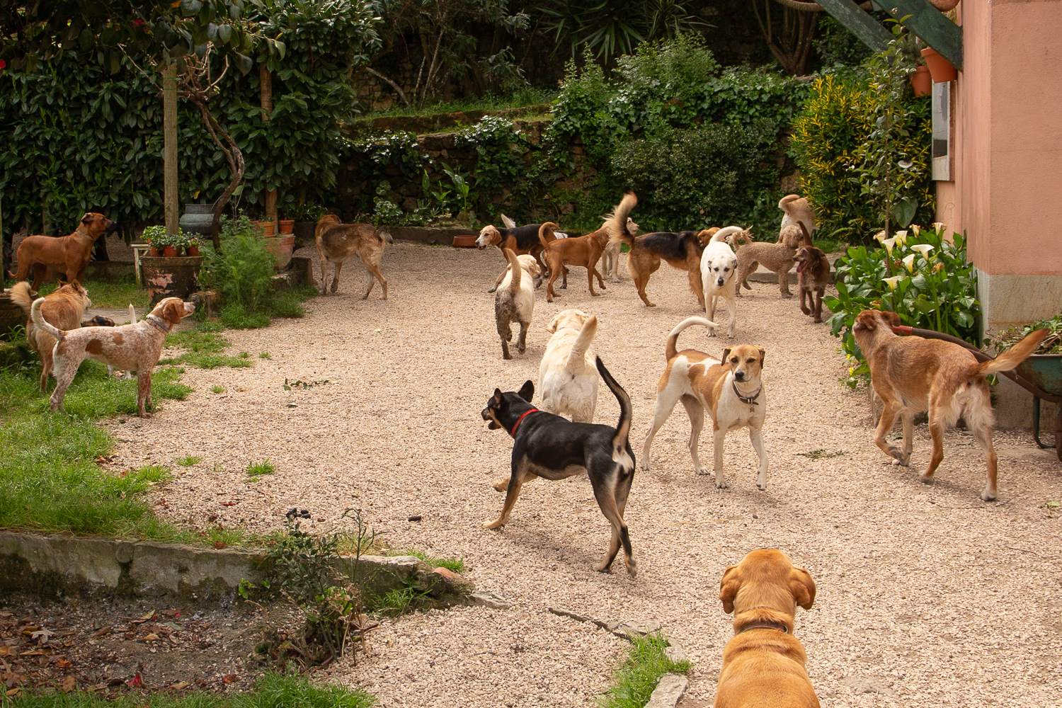 used to huge groups of dogs